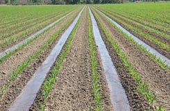 Irrigación del maíz joven en campo de cultivo de la agricultura Imagenes de archivo
