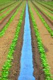 Irrigación orgánica de la cosecha del girasol Foto de archivo libre de regalías