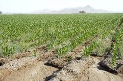Irrigated Corn 3. The edge of an irrigated corn field in the Arizona desert Royalty Free Stock Photos