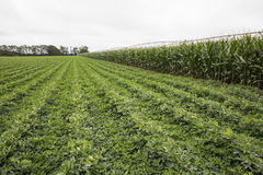 Irrigated Corn and Legume crops Stock Photos