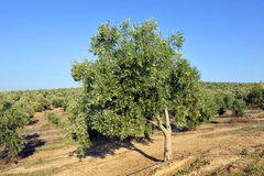Irrigated crops, olive groves, Andalusia, Spain. Extensive planting of irrigated olive groves for the production of olive oil, Andalucia, Spain, Southern Europe Stock Photos