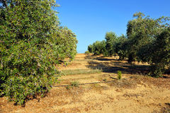 Irrigated crops, olive groves, Andalusia, Spain. Extensive planting of irrigated olive groves for the production of olive oil, Andalucia, Spain, Southern Europe Royalty Free Stock Photo