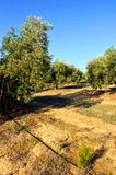 Irrigated crops, olive groves, Andalusia, Spain. Extensive planting of irrigated olive groves for the production of olive oil, Andalucia, Spain, Southern Europe Royalty Free Stock Image