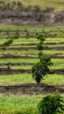 Young coffee trees. An irrigated field of young coffee trees in the Ka'u coffee district near Pahala, on the Big Island of Hawaii Stock Image