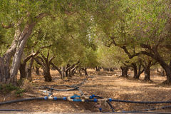 Irrigated olive grove. Royalty Free Stock Image