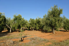 Irrigated olive groves, Andalusia, Spain. Extensive planting of irrigated olive groves for the production of olive oil, Andalucia, Spain, Southern Europe Stock Images