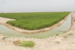 Irrigated rice plantation Stock Images