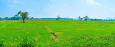 Irrigated rise field in Sri Lanka. Green irrigated rise fields make amazing view of Sri Lankan landscape Stock Photography