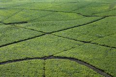 Irrigated sugarcane crops. Aerial view of irrigated sugarcane crops in Maui, Hawaii Royalty Free Stock Image
