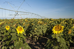 Irrigated sunflower field Stock Photos