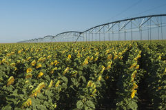Irrigated sunflower field. A center point irrigation system in a field of sunflowers Stock Images