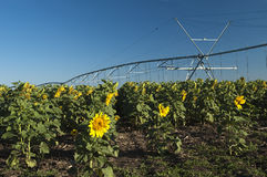 Irrigated sunflower field. A center point irrigation system in a field of sunflowers Royalty Free Stock Photo