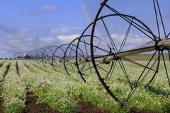 Irrigating Meadowfoam Royalty Free Stock Photos