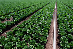 Irrigating spinach fields Royalty Free Stock Photography
