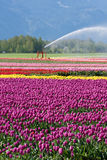 Irrigating tulip fields Stock Images