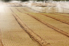 Irrigation. Rows of an early plantation being irrigated Stock Photo