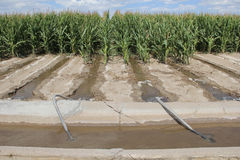 Irrigation of corn in Agriculture Farming field Stock Photo