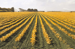 Irrigation Field. Wide Pattern of Fertile Irrigation Field stock images