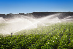 Irrigation in Field of growing potatoes Stock Images