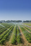 Irrigation at the field Royalty Free Stock Image