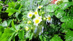 Irrigation of flowers in super slow motion stock footage