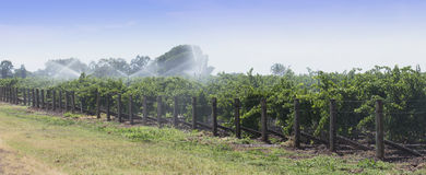 Irrigation of Grape Vines with Overhead Sprinklers. Royalty Free Stock Photos