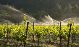 Irrigation of grape vineyard, California. Stock Image