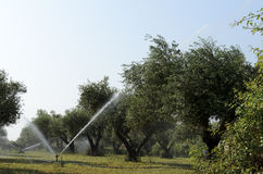 Irrigation of olive Stock Photos