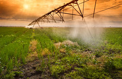 Irrigation of onion field Royalty Free Stock Photo