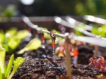 Irrigation par égouttement image libre de droits