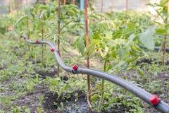 Irrigation par égouttement sur le lit Les jeunes plantes de la tomate se sont préparées à la plantation sur des lits avec l'irrig photos libres de droits