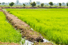 Irrigation in rice field Royalty Free Stock Image