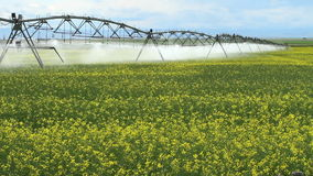 Irrigation Sprinklers and Canola crop stock video