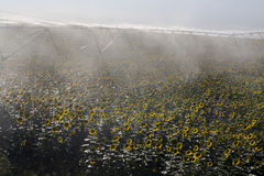 Irrigation system on sunflower field Royalty Free Stock Image