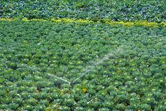 Irrigation system for watering cabbage field Royalty Free Stock Photos