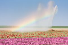 Irrigation of a tulip field with a Rainbow. Sprinkler installation in a Dutch tulip field with a beautiful Rainbow royalty free stock image