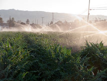 Irrigation at the vegetable farm. Sprinklers are on Stock Photo