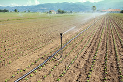 Irrigation of vegetable field Stock Photo