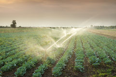 Irrigation of vegetables Royalty Free Stock Photography