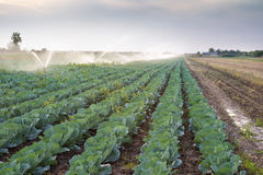 Irrigation of vegetables Royalty Free Stock Photo