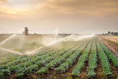 Irrigation of vegetables Royalty Free Stock Images