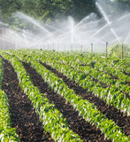 Irrigation of vegetables Royalty Free Stock Image