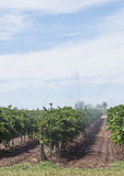 Irrigation of Vineyard with Overhead Sprinklers. Royalty Free Stock Photography