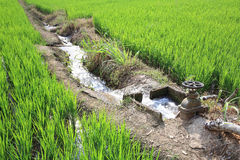 Irrigation water to rice field. Irrigation water into rice field royalty free stock images