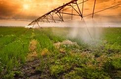 Irrigazione del campo della cipolla Fotografia Stock Libera da Diritti