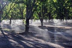 Irrigazione dell'albero di pecan Fotografia Stock