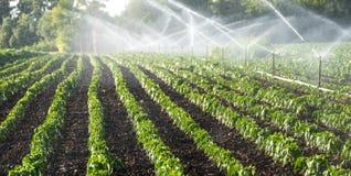 Irrigazione delle verdure Fotografie Stock Libere da Diritti
