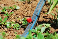 Irrigazione a goccia Fotografia Stock Libera da Diritti