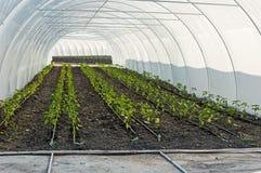 Irrigazione a goccia delle piantine del pepe nella serra Immagine Stock