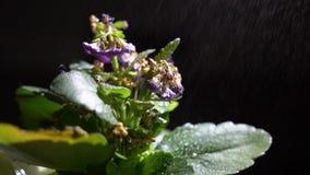 Irrigazione, irrorazione e annaffiamento di una pianta domestica stock footage